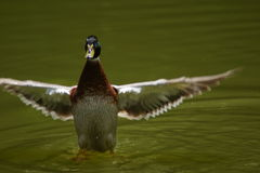 Duck flying Stock Photo