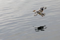 Duck flying on lake. A duck flying on lake Stock Photos