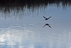 Duck flying low over the Bighorn River near Thermopolis Wyoming Royalty Free Stock Image