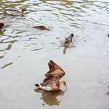 Duck flying out of water royalty free stock images