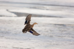 Duck flying over the ice Stock Images