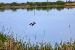 Duck flying over a lake. The male duck flying over a lake Royalty Free Stock Photography