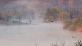 Ducks over foggy lake, Corbeanca, Ilfov County, Romania. Duck flying over misty lake in early morning in Corbeanca, Ilfov County, Romania Stock Photo