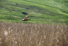 Duck flying over reed Stock Photo