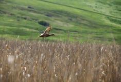 Duck flying over reed. A duck flying over reed Stock Photo