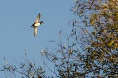 Duck Flying Past de madera Autumn Tree fotografía de archivo libre de regalías