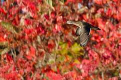 Duck Flying Past de madera femenino Autumn Foliage imágenes de archivo libres de regalías