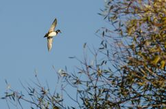 Duck Flying Past en bois Autumn Tree photographie stock libre de droits