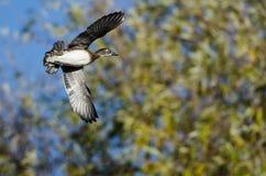 Duck Flying Past en bois Autumn Trees photo libre de droits