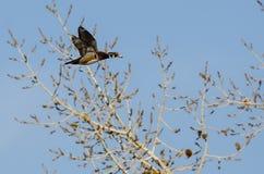 Duck Flying Past en bois Autumn Trees photos libres de droits