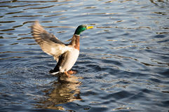Duck flying. Royalty Free Stock Photography