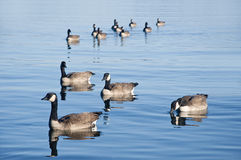 Duck Formation. Ducks swiming in formation in the clear blue lake Stock Images