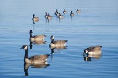 Duck Formation Arkivbild