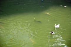 Duck Forty Two imagem de stock
