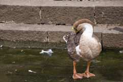 Duck Fourteen imagem de stock royalty free