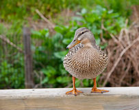 Duck. A friendly duck in London park Stock Photo