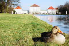 Duck in front of Castle. A duck is enjoying the first rays of sun in spring in front of Nymphenburg Castle in Munich, Germany stock images