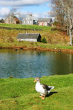 Duck in front of a pond Royalty Free Stock Photos