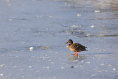 Duck on frozen lake Stock Images