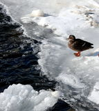 A duck on a frozen lake Royalty Free Stock Image