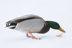 Duck on frozen lake Stock Photos
