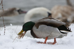 Duck on frozen lake Royalty Free Stock Images