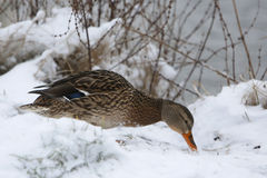 Duck on frozen lake Stock Photography