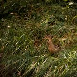 Duck fully camouflaged in tall grass. Female duck fully camouflaged in tall grass stock photos
