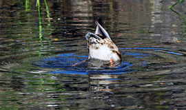 Duck. Funny diving duck in a Pond Royalty Free Stock Photos