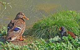 Duck and gallinule. Face to face Stock Photography