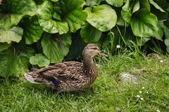 Duck, garden. Duck standing and taking sunbath in the green summer garden royalty free stock photo