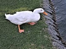 Duck Getting Ready to Enter the Lake. Palm Desert, California Royalty Free Stock Photo