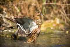 Duck is getting ready to fly Stock Photography