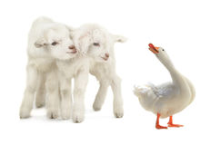 Duck and goat Royalty Free Stock Photos