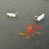 Duck and Gold Fish Royalty Free Stock Images
