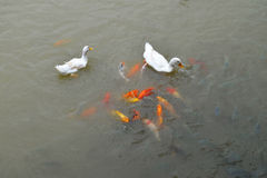 Duck and Gold Fish Stock Photography