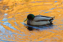 Duck in gold water. Duck swimming in water with autumn leaves Stock Photos