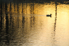 Duck on the golden water. Duck swimming in the beautiful yellow water with dark reflections of trees in the evening Stock Photo
