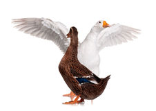 Duck and goose Stock Image
