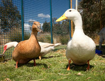 Duck and goose on farm Royalty Free Stock Images