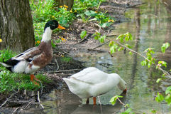 Duck and goose Royalty Free Stock Photos