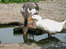 Duck and goose. Poultry farm animals Stock Photo