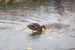 Duck grabs the leaves on the water royalty free stock images