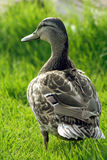 Duck in the Grass. Rear view of wild duck in grass Stock Images