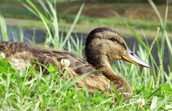 Duck in Grass Royalty Free Stock Photos