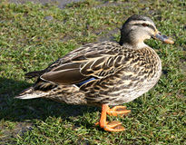 Duck on the grass Stock Photos