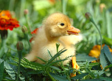 Duck in the grass. Little yellow duck in the grass Royalty Free Stock Photography