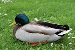 Duck on grass. A ducks on green grass royalty free stock photography