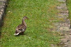 Duck on a grass field Royalty Free Stock Image