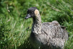 Duck. A duck in the grass looking cross or ruffled at the camera Stock Photography